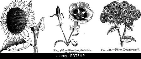 """. My garden, its plan and culture together with a general description of its geology, botany, and natural history. Gardening. ANNUALS. 243 six feet. The central flower is enormous, and usually five or six side-flowers are thrown out from the stem. A small boy employed in the garden once took a visitor to this flower, and said, """"Please, sir this is the finest flower in the garden."""" The Dianthus chinensis (fig. 486) and its varieties are very beautiful. The seed should be sown early in March, in a frame, and the young plants pricked out afterwards in the borders. The flowers are large, - Stock Photo"""