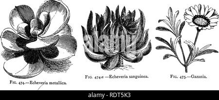. My garden, its plan and culture together with a general description of its geology, botany, and natural history. Gardening. BEDDING PLANTS. 239 â metallica (fig. 474) is a noble plant, with large fleshy leaves, contrasting well with other alpine plants. The Echeverm secunda has finely coloured light green leaves, and there are several other species of echeverias, as E. sanguinea (fig. 474Â«), and sempervivums which I grow, and which are admired ; they require the warmth of a greenhouse during winter. It is usual in the early part of the month of May to place all bedding plants out of doors,  - Stock Photo