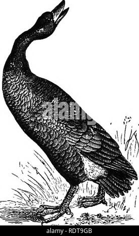 """. Fourteen weeks in zoology. Zoology. 1. Lams atrvMla, Laughing GiiU. 2. Cygnus olor. Mute Swan. ture a man's leg.* Swans fly high in their migration, to keep '• the sky """" of rapacious birds. ^g ^59. They are said to live a hundred years. The Canada Goose in the spring migrates in great numbers to .the north to breed, and returns to the tropics in the autumn. It always flies in flocks, having the form of an acute angle, the leader faUing back when fatigued, and the next one taking its place. The sexes are distinguished by the greater length of the male's neck. They are monogamous, but are - Stock Photo"""