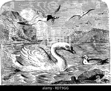 """. Fourteen weeks in zoology. Zoology. CLASS AVES: ORDER LAMELLIROSTRES. Mg. HB8. 153. 1. Lams atrvMla, Laughing GiiU. 2. Cygnus olor. Mute Swan. ture a man's leg.* Swans fly high in their migration, to keep '• the sky """" of rapacious birds. ^g ^59. They are said to live a hundred years. The Canada Goose in the spring migrates in great numbers to .the north to breed, and returns to the tropics in the autumn. It always flies in flocks, having the form of an acute angle, the leader faUing back when fatigued, and the next one taking its place. The sexes are distinguished by the greater length  - Stock Photo"""