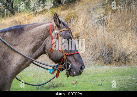 American quarter horse portrait, California - Stock Photo