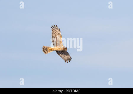 00803-01111 Northern Harrier (Circus cyaneus) female in flight Prairie Ridge State Natural Area Marion Co. IL - Stock Photo