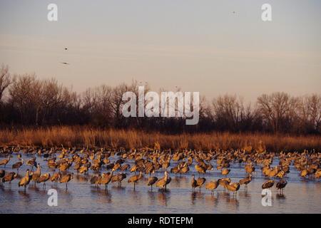 00882-01606 Sandhill Cranes (Grus canadensis) in Platte River near Kearney   NE - Stock Photo