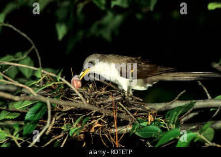01099-00918 Yellow-billed cuckoo (Coccyzus americanus) adult feeding insect to nestlings, Marion County,  IL - Stock Photo
