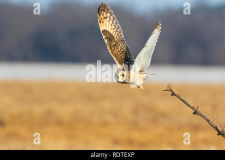 01113-02013 Short-eared Owl (Asio flammeus) lifting off from perch Prairie Ridge State Natural Area Marion Co. IL - Stock Photo