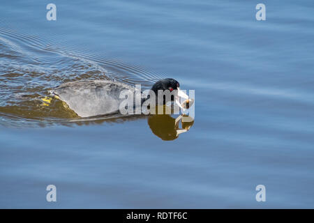 American coot (Fulica americana) fishing and eating mussels, Shoreline Lake and Park, Mountain View, San Francisco bay area, California - Stock Photo