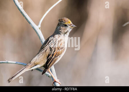 Close up of young Golden-crowned sparrow (Zonotrichia atricapilla), California; they are migrating all throughout the west coast during winter and van - Stock Photo