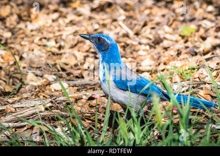 California Scrub Jay (Aphelocoma californica) on the ground, looking for insects, San Francisco bay area, California - Stock Photo