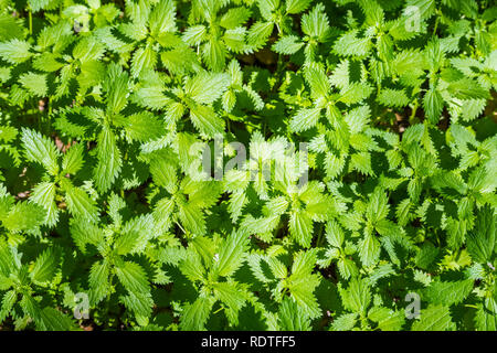 View from above of a patch of Stinging Nettle (Urtica dioica) growing on a meadow, California - Stock Photo