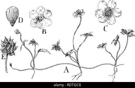 . Nature and development of plants. Botany. 438 THE RANALES orders form a natural transition from the primitive flowers of the willows and beeches to the large flowers of the next order with their showy perianths, though the structure of the flower is not very indicative of a relationship between them. 142. Ranales, the Buttercup or Crowfoot Order.—^This large and interesting order includes a great variety of our common plants, herbs, and trees, as the white and yellow water lilies {Nymphaea and Castalia), buttercups (Ranunculus), marsh marigold (CaZifeo), windflower (Anemone), Hepatica, rue ( - Stock Photo