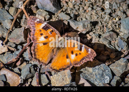 Close up of Satyr Comma butterfly (Polygonia satyrus), San Francisco bay area, California - Stock Photo
