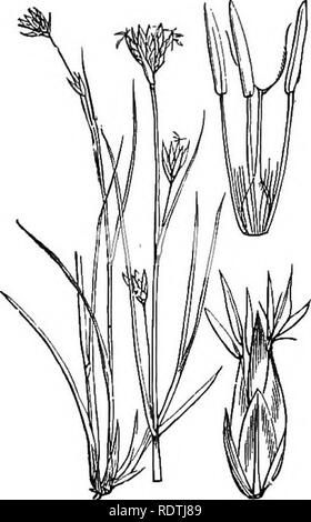. Illustrations of the British flora: a series of wood engravings, with dissections, of British plants. Botany; Botany. 1088. Rhynchospora fusca, L. Browjt Breaksedgc. 1089. Rhynchospora alba, Vahl. White BreaJisedge.. Please note that these images are extracted from scanned page images that may have been digitally enhanced for readability - coloration and appearance of these illustrations may not perfectly resemble the original work.. Fitch, W. H. (Walter Hood), 1817-1892; Smith, George Worthington, 1835-1917; Bentham, George, 1800-1884. Handbook of the British flora. London, L. Reeve - Stock Photo
