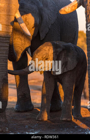 A baby African Elephant Loxodonta africana seen with its mother at a waterhole in Hwange National Park. - Stock Photo