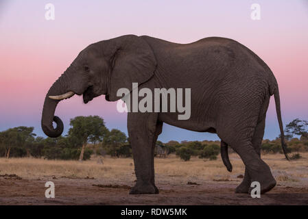 African elephant seen from a undertground hide in Zimbabwe's Hwange National Park. - Stock Photo