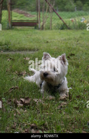 West highland white terrier lying in the grass - Stock Photo