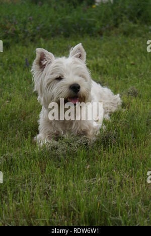 West highland white terrier in the grass sticking tounge out - Stock Photo