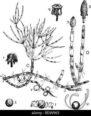 . Introduction to botany. Botany. Mosses, Ferns, and Horsetails. 301 The sporangia split open after the manner of anthers and the spores are readily shaken out by the wind. The spore is peculiar in having its outer coat split into four ribbon-hke bands which coil and uncoil with the varying humidity of the atmos- phere. On dry- ing, the bands uncoil, and on imbibing mois- ture they coil up again. Perhaps the coiled bands, when they come in contact with a suitable object, may serve to an- chor the spores in a moist place where the con- ditions for ger- mination are good ; or in dry situations,  - Stock Photo