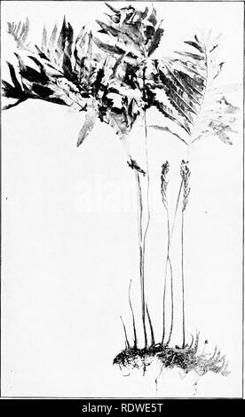 Elementary Botany Fig 445 Sensitive Fern Normal Condition Of