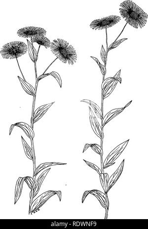. Wild flowers and trees of Colorado. Botany. Fig. 22.—Mountain Daisy (Erigeron macranthus) This handsome flower is common in the montane and adjacent zones. Many species of Erigeron are found in Colorado; all look much alike in general appearance but there are differences in the leaves and in the color of the flowers. This particular plant has purplish-pink ray flowers and a yellow center. (One-half natural size.). Please note that these images are extracted from scanned page images that may have been digitally enhanced for readability - coloration and appearance of these illustrations may no - Stock Photo