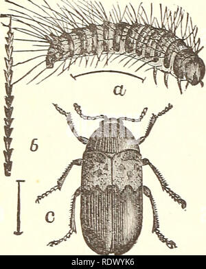 ". Economic entomology for the farmer... 178 AN ECONOMIC ENTOMOLOGY. Fig. 156. These belong to the family Dermestid^E, which contains such nuisances as the ""larder-beetles,"" ""carpet-beetles,'' and ""mu- seum-beetles."" The elytra, which cover the abdomen completely, are black or gray, usually ornamented with white or colored scales, which sometimes form quite pretty markings. The ""larder-beetle,"" or ""bacon- beetle,"" Dermestes lardarius, is rather more than one-fourth of an inch long, and easily recognizable by having the anterior half of the wing-cover - Stock Photo"