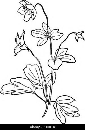 . A spring flora for high schools. Botany. Sepals 5, petal-like, deciduous, more, the styles pointed. Stamens 10-40. Pistils 3-6 or I. biternatum. Fibers of the root thickened here and there into little tubers. Moist and shady woods and cliffs. May. caltha' Glabrous, hydrophytic perennials with round and heart-shaped large leaves. Sepals 5-9, petal-like. Pistils 5—10 with scarcely any styles. C. palustris, Marsh Marigold. Swamps and wet meadows in April and June. The stem is hollow and furrowed. The sepals are broadly oval and bright yellow. Sometimes used for greens when young. The brilliant  - Stock Photo