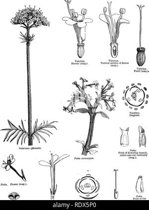 . A general system of botany, descriptive and analytical. In two parts. Part I. Outlines of organography, anatomy, and physiology. Part II. Descriptions and illustrations of the orders. By Emm. Le Maout [and] J. Decaisne. With 5500 figures by L. Steinheil and A. Riocreux. Translated from the original by Mrs. Hooker. The orders arranged after the method followed in the universities and schools of Great Britain, its colonies, America, and India; with additions, an appendix on the natural method, and a synopsis of the orders, by J.D. Hooker. Botany. CXIX. VALEEIANE^.. Fedia, Fedia. Transverse sec - Stock Photo