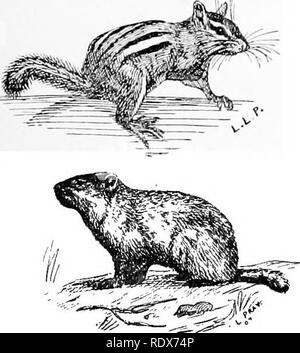 . [Collected reprints, 1912-1919. Mammals; Mammals; Birds. . Please note that these images are extracted from scanned page images that may have been digitally enhanced for readability - coloration and appearance of these illustrations may not perfectly resemble the original work.. Cory, Charles B. (Charles Barney), 1857-1921. s. l. , s. n. - Stock Photo