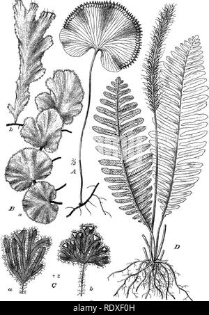""". The origin of a land flora, a theory based upon the facts of alternation. Plant morphology. Fig. Habit of Trickomanes A — t """"., -y ^ 2 0. Please note that these images are extracted from scanned page images that may have been digitally enhanced for readability - coloration and appearance of these illustrations may not perfectly resemble the original work.. Bower, F. O. (Frederick Orpen), 1855-1948. London, Macmillan and Co. , Ltd. - Stock Photo"""