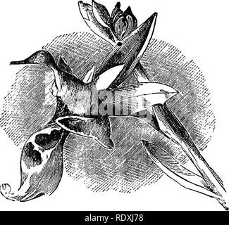 ". Freaks and marvels of plant life; or, Curiosities of vegetation. Plant anatomy. 270 FREAKS OF PLANT LIFE.. Fig- 45-—Snipe Orchis (""Gardener's Chronicle"").. Please note that these images are extracted from scanned page images that may have been digitally enhanced for readability - coloration and appearance of these illustrations may not perfectly resemble the original work.. Cooke, M. C. (Mordecai Cubitt), b. 1825. London, Society for Promoting Christian Knowledge; New York, E. & J. B. Young - Stock Photo"
