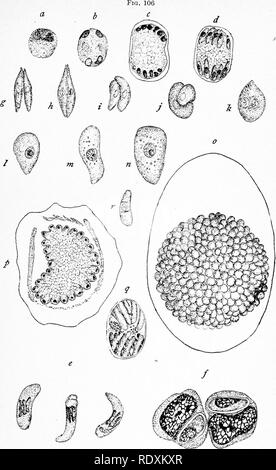 . Protozoo?logy. Protozoa; Protozoa, Pathogenic. THE PATHOGENIC HEMOSPORIDIA 271. Hepatozoon perniciosum, Miller, a hemosporidian parasite of the rat. (After Miller.) a to d, de^'elopment of the schizont in the liver cells of the rat; e, free parasites in the blood; /, encysted parasites in lymphocytes; g to k, stages in conjugation of isogametes; I, m, n, growth of the ookinet into sporont; o, sporocyst derived from the ookinet, with sporoblast buds covering the surface; p, section of same; q, older sporoblast with sporozoites; r, a single sporozoite. Stages g to r are formed in the tissues o - Stock Photo