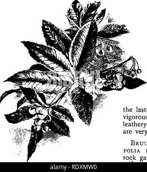 . The Book of gardening; a handbook of horticulture. Gardening; Horticulture. 426 THE BOOK OF GARDENING. also deserves mention, being quite hardy, and forming a neat, stout bush. It bears an abundance of golden-yellow flowers in early spring. B. nervosa (B. glumacea, Mahonia glumaced) is very distinct, forming a dwarf, compact bush, with deep green leaves. In autumn, when in flower, it is very beautiful. A useful shrub for winter effect, and suitable for the rock garden. B. repens (Mahonia repens) is a low-growing shrub of dwarfer habit than the last-named, with dull green leaves, and very ser - Stock Photo