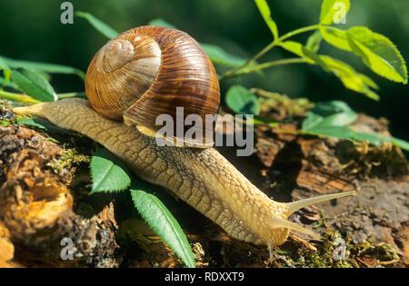 Weinbergschnecke, Weinberg-Schnecke, Helix pomatia, Roman snail, escargot, escargot snail, edible snail, apple snail, grapevine snail, vineyard snail, - Stock Photo