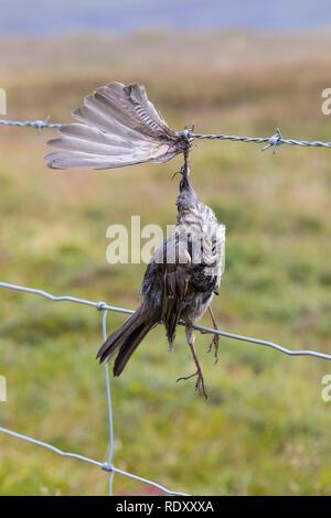 Vogel stirbt an Stacheldraht, Zaun, Stacheldrahtzaun, Tod durch Draht in der Landschaft, Bird dies of barbed wire, fence, barbed wire fence, death by  - Stock Photo