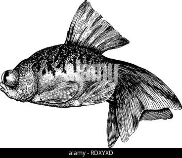 . Goldfish breeds and other aquarium fishes, their care and propagation; a guide to freshwater and marine aquaria, their fauna, flora and management. Aquariums; Goldfish. GOLDFISH BREEDS THE CHINESE LETTERED TELESCOPE GOLDFISH Carassius auratus, var. chinensis scriptus. Fig. 27 Another instance of the patient labors of the Chinese in developing desired characteristics in the goldfish is evident in the Lettered Telescope, a very rare fish, as but two specimens, both females, have come to the knowledge of the author, both owned in Philadelphia. No recent author- ity describes this fish, the foll - Stock Photo