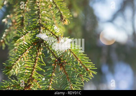 Branches and needles of spruce covered with snow in the winter forest in Finland - Stock Photo