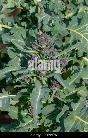 Early purple sprouting broccoli in a vegetable garden. UK - Stock Photo