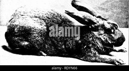 . Our domestic animals, their habits, intelligence and usefulness; tr. from the French of Gos. De Voogt, by Katharine P. Wormeley;. Domestic animals. 256 OUR DOMESTIC ANIMALS ^^^-^-. A Leporide Hare-Colored Rabbit that are strong and handsome. At Ghent the business is chiefly in the hands of the working- classes, and they are very skillful at it, which indeed is natural, as their ancestors did it be- fore them and transmitted the experience from father to son. We sometimes hear it said that the breeding of these robust and handsome animals is a secret with the Ghent producers, but this is not  - Stock Photo