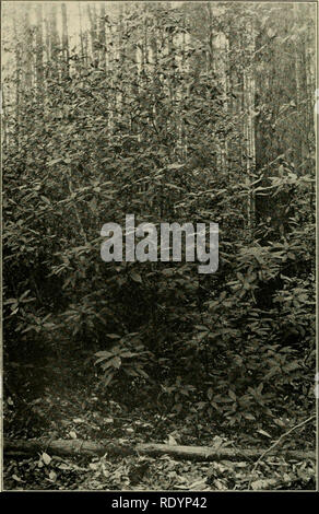 . Economic botany of Alabama. Botany, Economic; Forests and forestry. 174 ECONOMIC BOTANY OF ALABAMA. Fig. 47. Illiciiiin in non-alluvial swamp about two miles south of Tuscaloosa. December 28, 1912.. Please note that these images are extracted from scanned page images that may have been digitally enhanced for readability - coloration and appearance of these illustrations may not perfectly resemble the original work.. Harper, Roland McMillan, 1878-1966. University, Ala. - Stock Photo