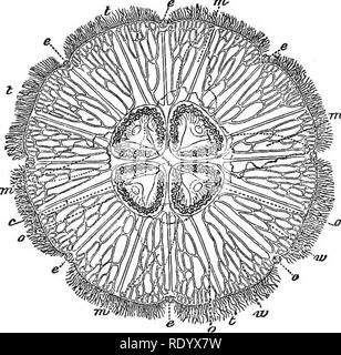 . Methods of study in natural history . Animals; Corals; Embryology. 252 ALTERNATE GENERATIONS. by which it began its life as a free animal. The lobes are gradually obliterated, so that the mar-. Aurelia fiavidula, the common white Jelly-Fish of our sea-shores, seen from above : c, mouth ; e e e ee e, eyes ; mm mm, lobes or curtain of the mouth in outlines j o oot ovaries ; tt £, tentacles ; w w, ramified tubes. gin becomes almost an unbroken circle. The eight eyes were, as I have said, at the bottom of depressions in the centre of the several lobes; but, by the equalizing of the marginal line - Stock Photo