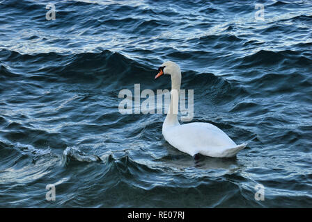 Croatia, Dalmatian coast, Jadranovo village. A swan on the sea. - Stock Photo