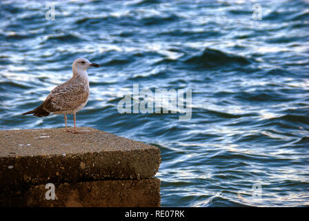 Croatia, Dalmatian coast, Jadranovo village. A seagull on the quay of the port of jadranovo. - Stock Photo