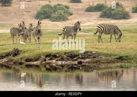 A family of Burchell's Zebras (Equus quagga burchelli) on the banks of the Chobe River. - Stock Photo