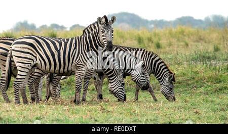 A family of Burchell's Zebras (Equus quagga burchelli) grazing on the banks of the Chobe River. - Stock Photo