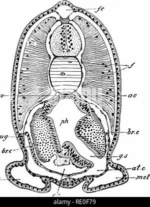 . Amphioxus and the ancestry of the vertebrates. Amphioxus; Sea squirts; Hemichordata. LARVAL DEVELOPMENT. 151 Development of Reprodjictive Organs. One of the most interesting events which we have now to chronicle is the development of the reproductive organs. This commences when the young Amphioxus has reached the length of about 5 ram. Our knowledge of the details of the processes involved in the formation of the genital organs is again due to the work of BovERr, who has made the discovery that the. met Fig. 85. — Transverse section through the pharyngeal region of a young individual of 5 mm - Stock Photo