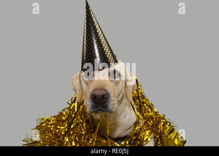 DOG NEW YEAR OR BIRTHDAY PARTY HAT. FUNNY LABRADOR LYING DOWN AGAINST GOLDEN SERPENTINES STREAMERS. ISOLATED STUDIO SHOT ON GRAY BACKGROUND. - Stock Photo