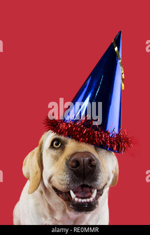 DOG PARTY HAT. FUNNY LABRADOR WEARING A BLUE CAP FOR A BIRTHDAY OR NEW YEAR. ISOLATED SHOT AGAINST CORAL COLORED BACKGROUND. - Stock Photo