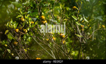 Ripe green and Orange Tangerine oranges on branch with leaves. Grow tangerines season of tangerines - Stock Photo