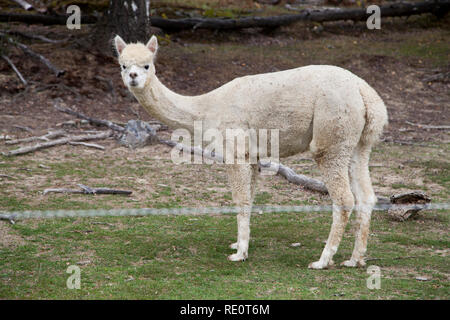 ALPACA is a species of South American camelid and new species of animals at some Swedish farms