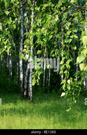 branch of a birch tree with young foliage on a summer forest - Stock Photo