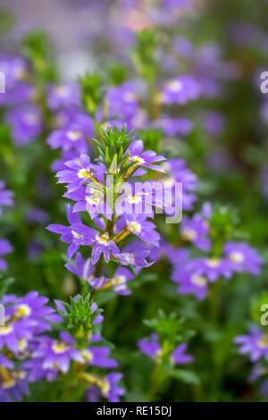 Scaevola 'Purple Haze' - Stock Photo